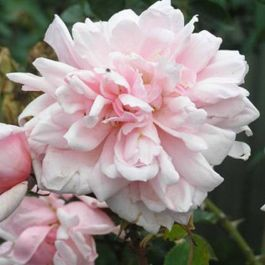 'Albertine' Rambler Rose - 5.5L Pot