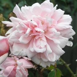 'Albertine' Rambler Rose - Bare-root