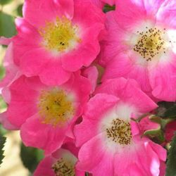 American Pillar' Rambler Rose - 5.5L Pot
