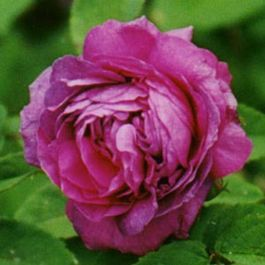 Belle de Crecy' Shrub Rose - 5.5L Pot