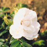 Blanc Double de Coubert' Shrub Rose - 5.5L Pot