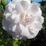 Blush Noisette' Climber Rose - 5.5L Pot