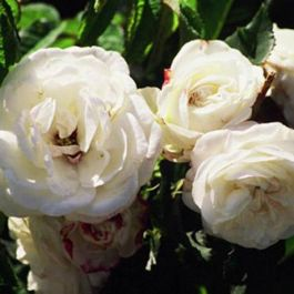 Boule de Neige' Shrub Rose - 5.5L Pot