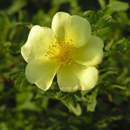 'Canary Bird' Shrub Rose - 5.5L Pot