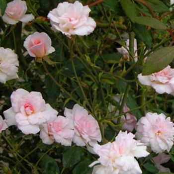Cecile Brunner' Shrub Rose - 5.5L Pot