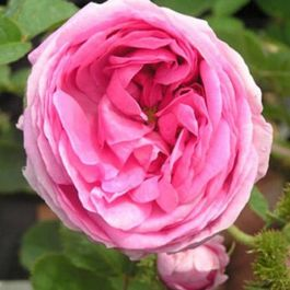 Chapeau de Napoleon' Shrub Rose - 5.5L Pot