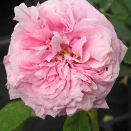 Comte de Chambord' Shrub Rose - 5.5L Pot