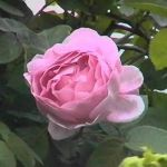 Constance Spry' Shrub Rose - 5.5L Pot