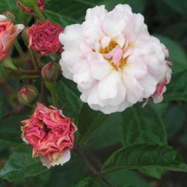 Cornelia' Shrub Rose - 5.5L Pot