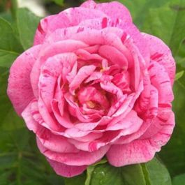Ferdinand Pichard' Bush Rose - 5.5L Pot