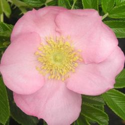 Fru Dagmar Hastrup' Shrub Rose - 5.5L Pot