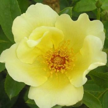 Golden Wings' Shrub Rose - 5.5L Pot