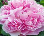 Jacques Cartier' Bush Rose - 5.5L Pot
