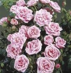 Diamond Wishes' Patio Rose - Bare-root