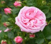 Diamond Wishes' Patio Rose - 5.5L Pot