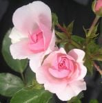 Bonica' Ground Cover Rose - 5.5L Pot
