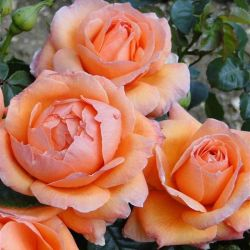 Lady Marmalade' Bush Rose - Bare-root