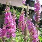 Purple Loosestrife Lythrum Salicaria - 3L Pot - Cut Back