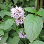 Water Mint Mentha aquatica - 3L Pot - Cut Back