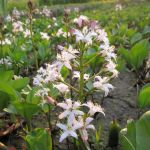 Bogbean - Menyanthes trifoliata - 3L Pot