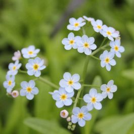Large Water Forget-Me-Not Myosotis scorpioides - 3L Pot