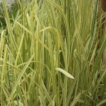 Variegated South Asian Khagra Reed Phragmites karka 'Varigata' - 3L Pot