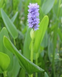 Large Pickerel Weed Pontederia cordata - 3L Pot