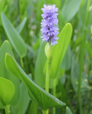 Pickerel Weed Pontederia cordata - 3L Pot