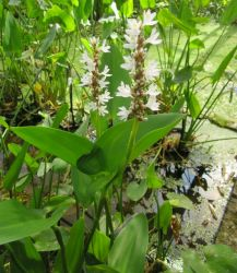 Large White Pickerel Weed Pontederia cordata 'Alba' - 3L Pot