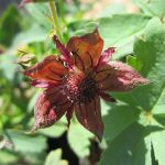Marsh Cinquefoil Potentilla palustris - 3L Pot - Cut Back