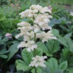 Featherleaf Rodgersia Rodgersia pinnata - 3L Pot