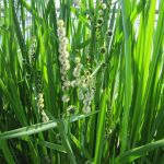 Branched Bur Reed Sparganium erectum - 3L Pot - Cut Back