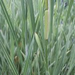 Great Reedmace Variegated Typha latifolia variegata - 3L Pot