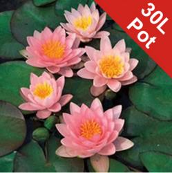 Extra Large Water Lily 'Fabiola' Nymphaea 'Fabiola' - 30L Pot