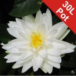 Double Petal White Water Lily - Nymphaea 'Gonnere' - 30L Pot