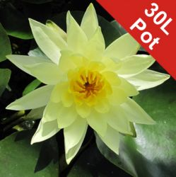 Double Petal Yellow Water Lily - Nymphaea 'Joey Tomocik' - 30L Pot