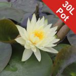 Water Lily 'Lemon Mist' - Nymphaea 'Lemon Mist' - 30L Pot