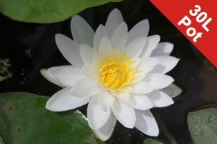 Water Lily 'White Sultan' - Nymphaea 'White Sultan' - 30L Pot