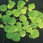 Frogbit Hydrocharis morsus-ranae Pack of 10