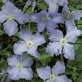 Clematis Blue Angel (S) | 2.5L Pot | Blekitny Aniol