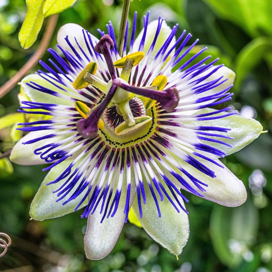 3ft Blue Passion Flower | 3L Pot | 'Passiflora caerulea'