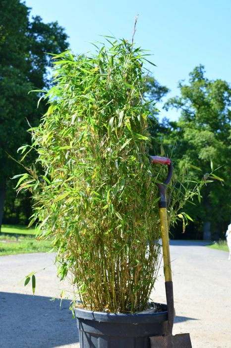 6ft Umbrella Bamboo | 45L Pot | Fargesia murieliae Jumbo