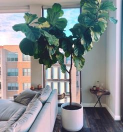 140cm Half Standard Fiddle Leaf Fig | Ficus Lyrata | 24cm Pot | By Plant Theory