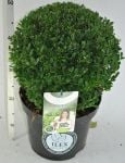 Ilex crenata 'Dark Green' Topiary Ball - 26cm Pot