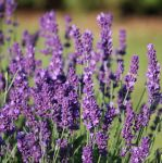 10 x Lavandula angustifolia (English Lavender)- 10.5cm Pot