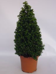 Pair of Buxus microphylla 'Faulkner' Topiary Box Pyramids