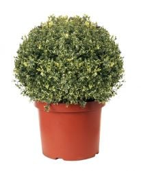 Buxus sempervirens Variegata - Ball, 19cm pot, 20-25cm diameter (Variegated Box Ball)