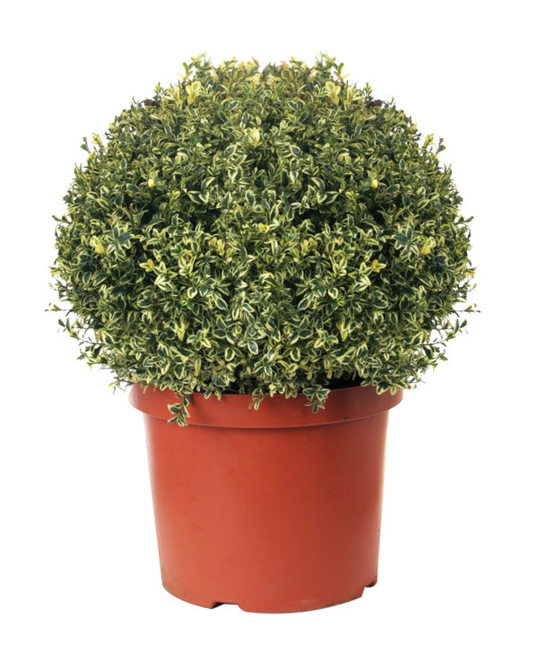 Buxus sempervirens 'variegata' Topiary Box Ball - 29cm Pot