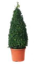 Buxus sempervirens Topiary Box Pyramid - 26cm Pot
