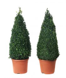 Pair of Buxus sempervirens Topiary Box Pyramids - 26cm Pot